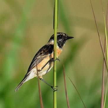 Male Eastern Stonechat assuming breeding plumage