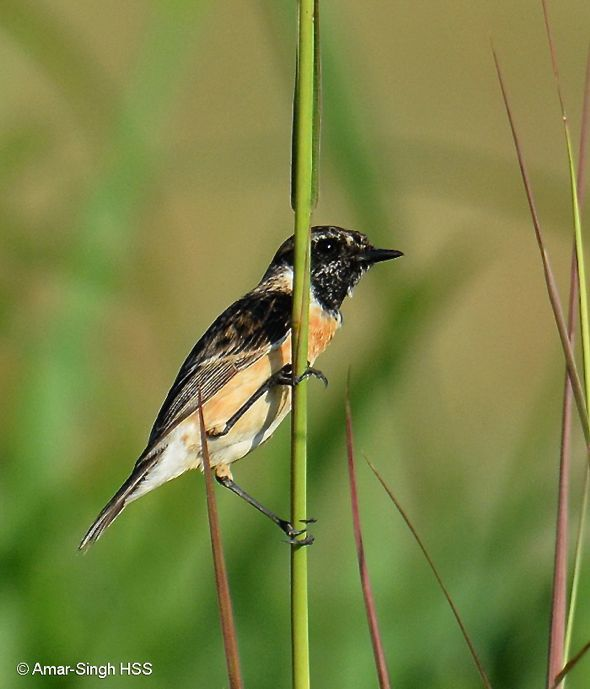 Male Eastern Stonechat assuming breeding plumage