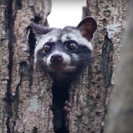 Common Palm Civet raising kitten in a tree hollow
