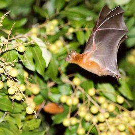 Common Fruit Bat feeding on longan