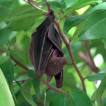 Common Fruit Bat roosting in a tree