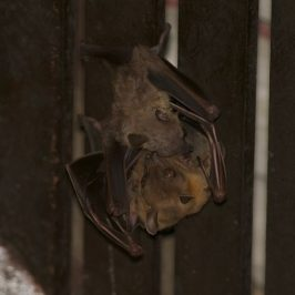 Bats in my porch: 8. Female with young