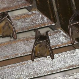 Bats Roosting in my porch: 4. Success with early morning arrivals