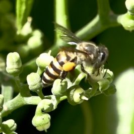Bees collecting nectar and pollen from Bush Grape (<em>Cayratia mollissima</em>) flowers