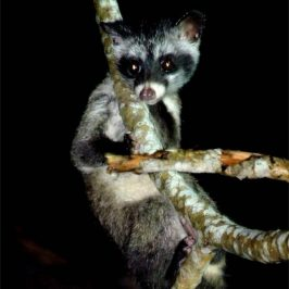 Common Palm Civet: Request for sightings, samples of poop, etc.