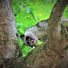 Common Palm Civet enjoying an Arumanis mango