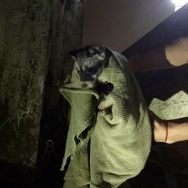 Rescue of two Common Palm Civet kittens