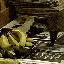 Common Palm Civets encounter bananas