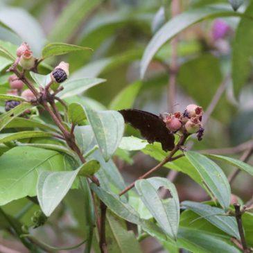 The Common Palmfly feeding on Singapore Rhododendron fruit