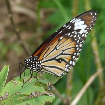 Danainae butterflies – leaf scratching and withered plants