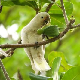 Tanimbar Corella and the Beach Barringtonia fruit