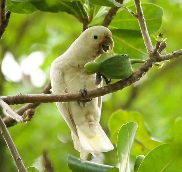 Tanimbar Corella and the Beach Barringtonia fruit