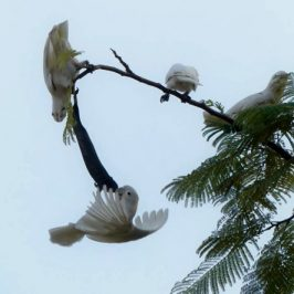 Tanimbar Corella eats Flame of the Forest seeds?