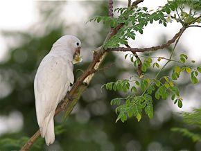 Tanimbar Cockatoo eating seeds of the drumstick