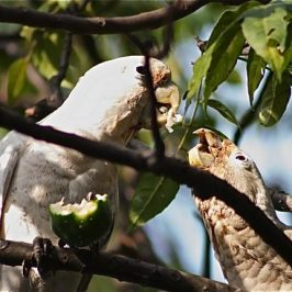 Tanimbar Corellas fighting over <em>Passiflora laurifolia</em> fruit