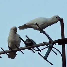 Tanimbar Corellas on a TV aerial