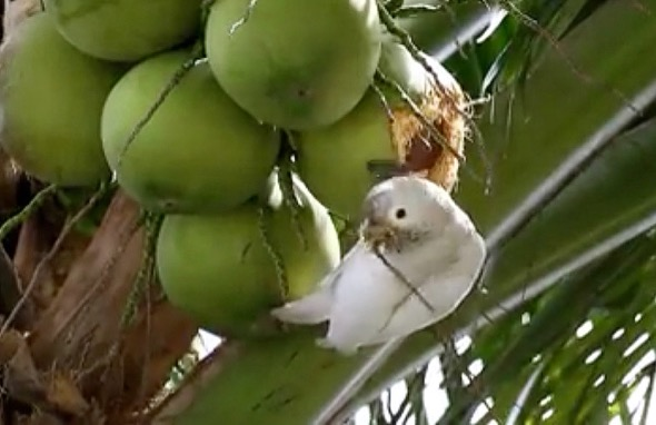 "Tanimbar Corella using ""tool"" to get at the coconut flesh (Photo credit: And Siew Siew)"