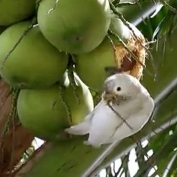 """Tanimbar Corella uses """"tool"""" to get at the coconut kernel"""