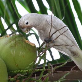 Tanimbar Corella feeding on coconut