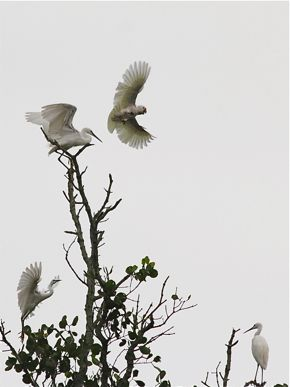 Aerial Chase of Tanimbar Corellas and Little Egrets