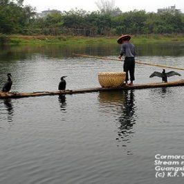 Cormorant Fishing – Guangxi, China