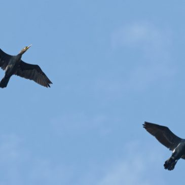 Great Cormorants sighted over Pasir Ris Park
