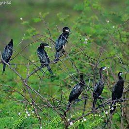 Little Cormorant – nesting material