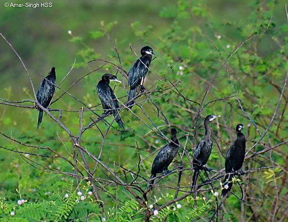 Little Cormorant - nesting material