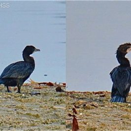 Little Cormorant – an uncommon migrant