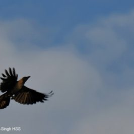 House Crow and alate termites