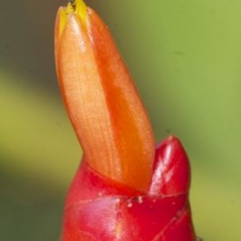 Flowers of <em>Costus woodsonii</em> or Scarlet Spiral Flag