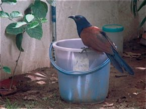 Sub-adult Greater Coucal