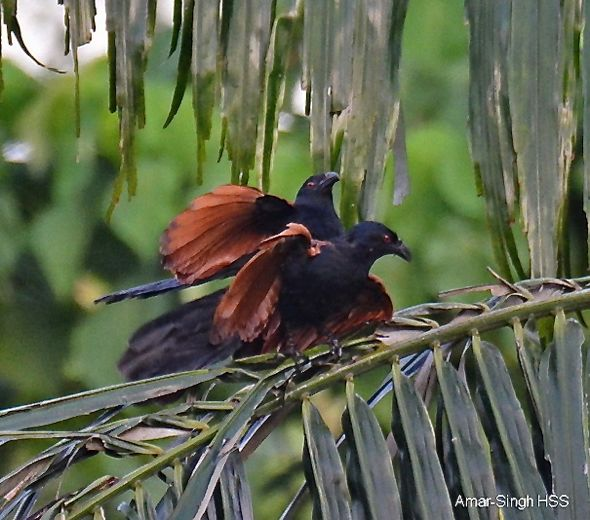 Greater Coucal mating