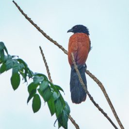 Greater Coucal's snail breakfast