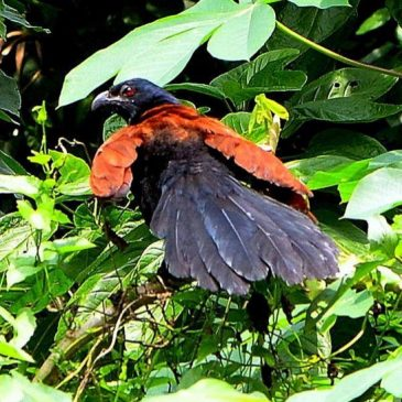 Greater Coucal fly past