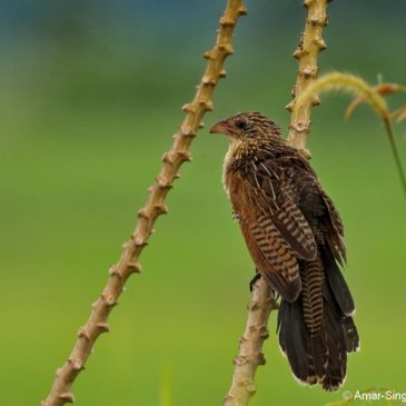 Lesser Coucal – adult non-breeding or juvenile