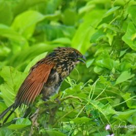 Lesser Coucal – calls