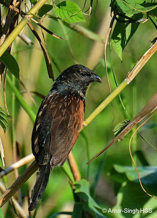 Conflict between Yellow-vented Bulbul and Lesser Coucal