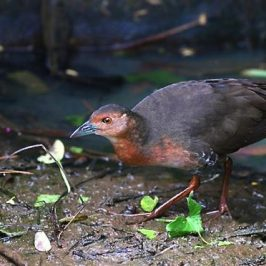 Second sighting of the Band-bellied Crake in Singapore