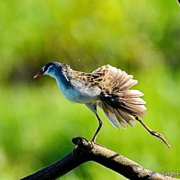 White-browed Crake preening and its odd oral movements
