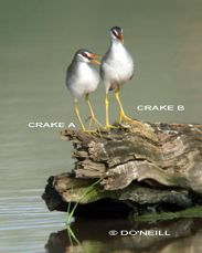 COMMUNICATING PAIR OF WHITE-BROWED CRAKES