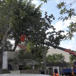 Are they saving the tree from the strangling fig?