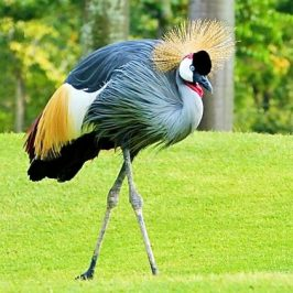 Grey Crowned Crane courtship dance