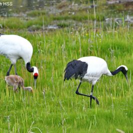 Red-crowned Crane <em>Grus japonensis</em>
