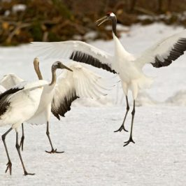 Red-crowned Crane dancing during an earthquake