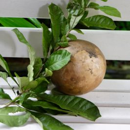 The Calabash Tree: 1. The plant