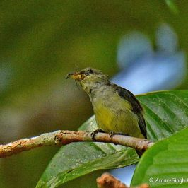 Crimson-breasted Flowerpecker – animal prey