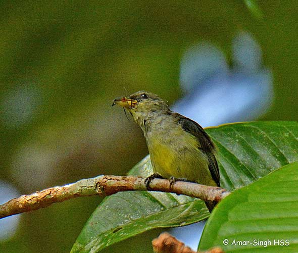 Crimson-breasted-Flowerpecker-immature-female-1a-Kledang-Sayong-Forest-Reserve,-Ipoh,-Perak,-Malaysia-26th-June-2016