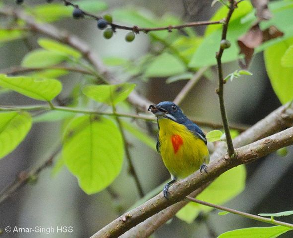 Calls of the Crimson-breasted Flowerpecker