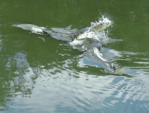 Crocodile Confrontation